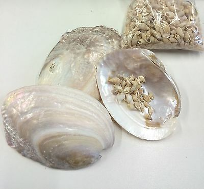 BAG OF SEA SHELLS, 3 LARGE AND BAG OF SMALL - Props, Crafts, Table Decoration