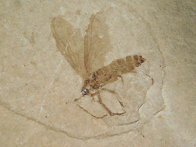 A Nice! and 100% NATURAL 50 Million Year Old Insect Fossil Bee Wyoming! 26.2gr e