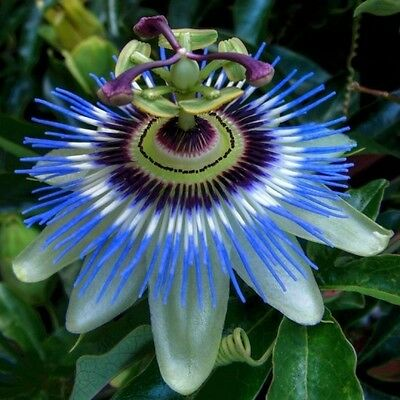 Blue Passionfruit, 20 seeds, Perennial, Easy to grow, Fruit salads