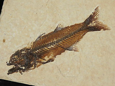 A Small 100% NATURAL 50 Million Year Old AAA Baby Mioplosus Fish Fossil Wy 162gr
