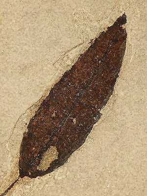 BIG! Super Neat! 100% NATURAL 50 Million Year Old LEAF Fossil! in HUGE Matrix Wy