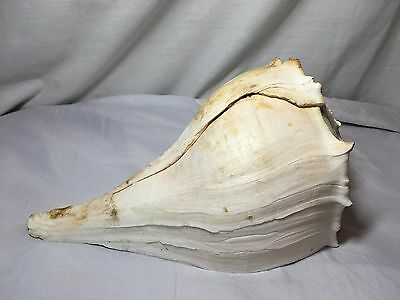 "Large Seashell - Queen Conch 10.5"" large Decorative collectible"