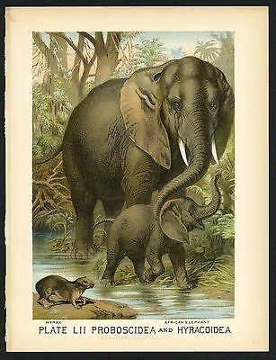 AFRICAN ELEPHANT, HYRAX, Vintage 1897 Chromolithograph Print, Antique, 052