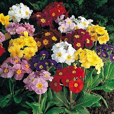 Polyanthus Crown exhibition mix - 150 seeds - perennials