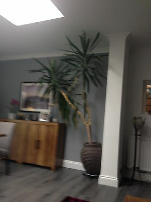 Yucca House Plant Very Large