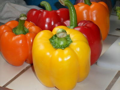 50 pcs organic non GMO mixed bell pepper seeds + free gift