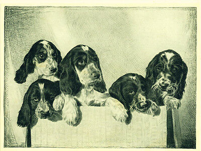 Dog Print 1935 English Springer Spaniel Puppies VINTAGE