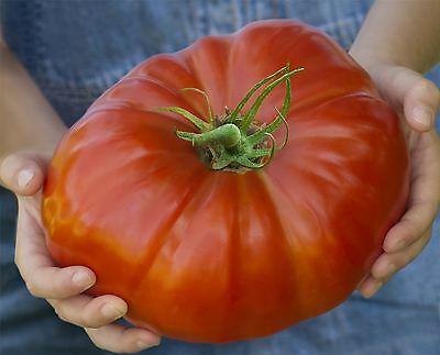 Vegetable - Tomato - Gigantomo - 5 Seeds - Economy