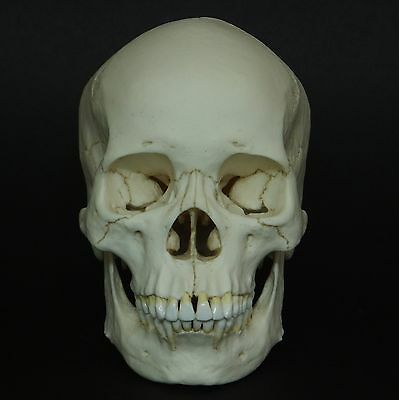 Human Female Asian Adult Skull Replica ( Real Size )
