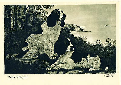 Dog Print 1931 English Springer Spaniel Dogs by Bert Cobb VINTAGE