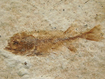ULTRA RARE!! BABY or Fry Phareodus Testis Fossil Fish Found in Wyoming 31.3gr