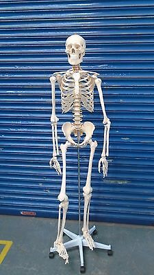 Life Size Human Skeleton Model & Stand Medical Anatomical Aid