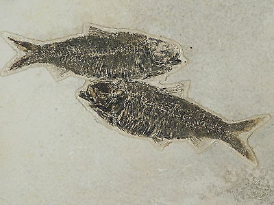 TWO Natural 50 Million Year Old LIFE LIKE! Knightia ALTA Fish Fossils Wy 1545gr