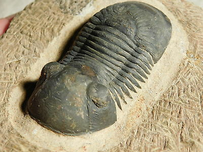 A Big Nice and 100% Natural Paralejurus Trilobite Fossil From Morocco 344gr