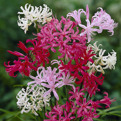 Nerine bulb collection - 5 each of 4 colours