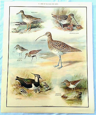 MacMillan Vintage Collectable School Nature Poster 10 Birds of The Marsh & Heath