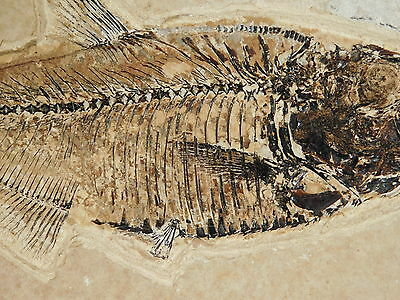 A LARGER 100% Natural G-10 X-RAY Like Diplomystus Fossil Fish From Wyoming 640gr
