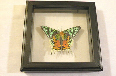 Real Butterfly Sunset Moth Rear Urania Rhipheus Mounted Frame