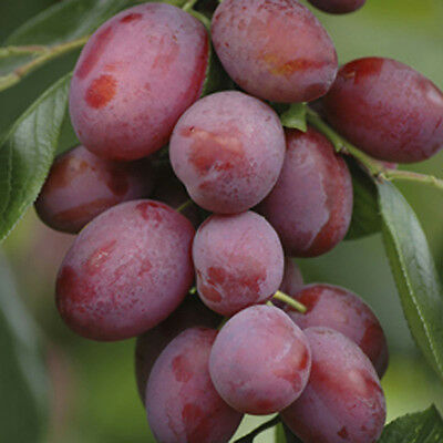 Victoria Plum Patio Fruit Tree in a 5L Pot 1.2m Tall Grow Your Own Fruit