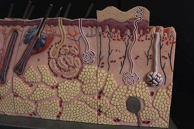 20Th Century Anatomical Study of the hair follicles/ skin vessel / medical /