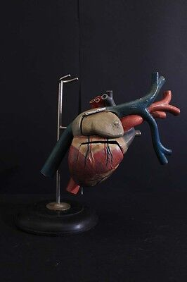 20Th Century Anatomical Study of the human heart/ medical/ scientific