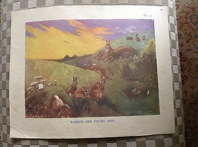 Vintage Macmillan Classroom Poster Rabbits And Young Ones 1950's