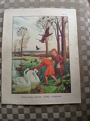 Vintage Macmillan Classroom Poster Birds In Winter Swans Rooks Starlings 1950's