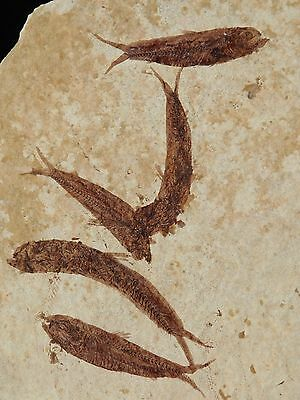 A School of FIVE Small Restored 50 Million Year Old Fossil Fish! Wyoming 128gr