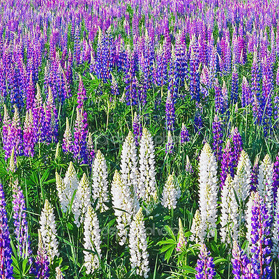 100Pcs Beautiful Special Mixed Colorful Russell Lupin Seeds Flower Home Garden