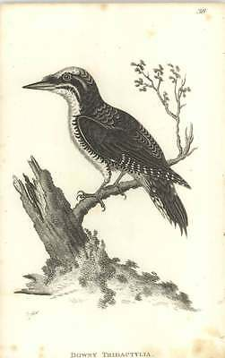 1815 Downy Tridactylia Engraved Bird Print Shaw and JF Stephens
