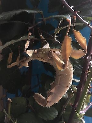 Giant Prickly Stick Insect (Macleay's Spectre) x 20 ova/eggs Female Only