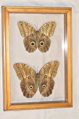 Real Butterfly Owl Male And Female Caligo Memnon Mounted Frame