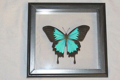 Real Butterfly Ulysses Papilio Ulysses Mounted Frame