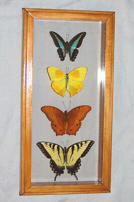 4 Real Butterfly Tiger Swallowtail , Cruiser , Orange Barred  Mounted Frame