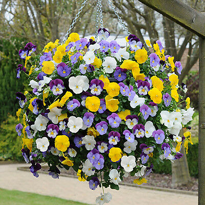 Trailing Hardy Pansy 'Cool Wave' Bedding Plant Pack of 12 Jumbo Plugs