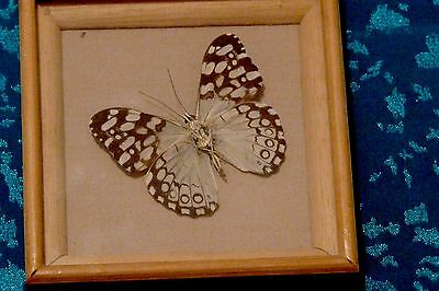Agaromia Butterfly Of South America Framed