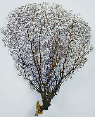 """Real Dried Sea Fan Coral Black 11"""" X 14"""" (Pictured)"""