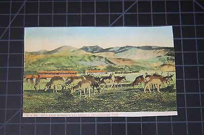 National Park Yellowstone Deer Near Mammoth Hot Springs Vintage Postcard