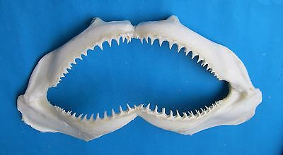 "18""  Blacktip shark Jaw  shark mouth jaw teeth  taxidermy  Mix-769"
