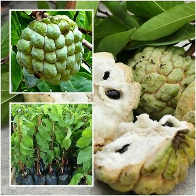 Sugar Apple Annona Squamosa Tree Plant Grafted Fruit Sweet From Thai Tall 15''