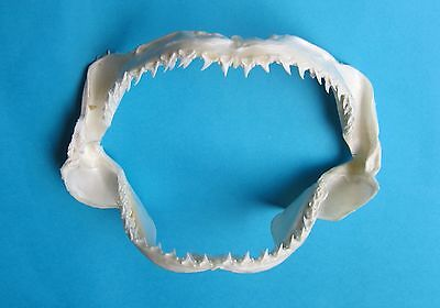 "11 ""  Bigeye Thresher SHARK Jaw TEETH mouth taxidermy  Mix-968"