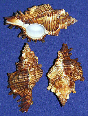 "Murex Turnispina Pecten Seashells 2/""-3/"" Craft Shells Supply~Select 3//6//12 Pcs."