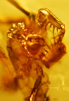 Rare Amblypygi ( tailess whip scorpion )  in authentic Dominican Amber gemstone