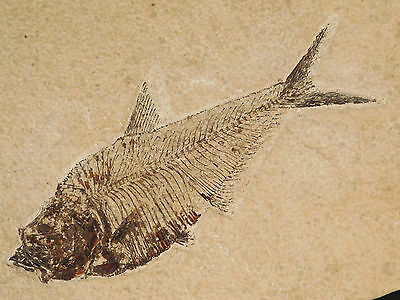 NICE BONES! on This Diplomystus Dentatus Fish Fossil Found in Wyoming 1960gr