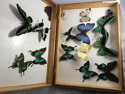 African Butterfly Specimen Collection Insect Taxidermy with case