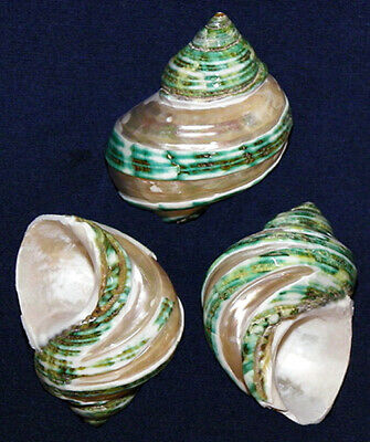"Polished Green Turbo marmoratus Shells ~ 2""-2-1/2""~ Craft Seashells"
