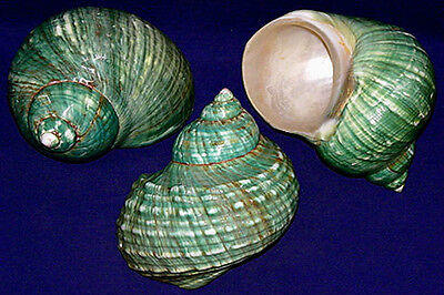 "(2) Polished Jade Green Turbo Burgess Shell~ 3-1/2"" - 4"" Turban Seashell"