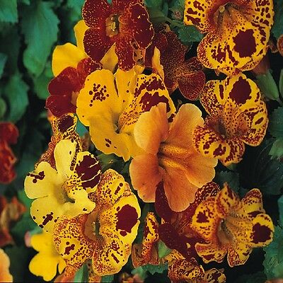 Mimulus tigrinus - Tiger Monkey flower - appx 12,000 seeds