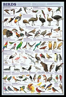 (Framed) Birds Educational Id Poster 66X96Cm Print Picture
