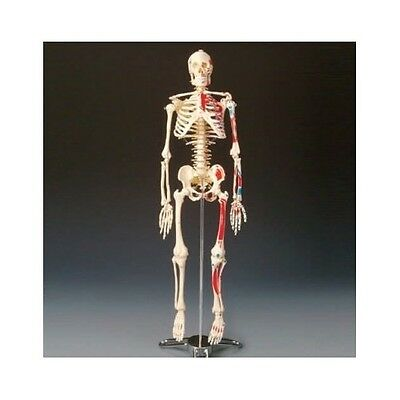 Human Skeleton Model Anatomical Anatomy Medical School Bone Education Body